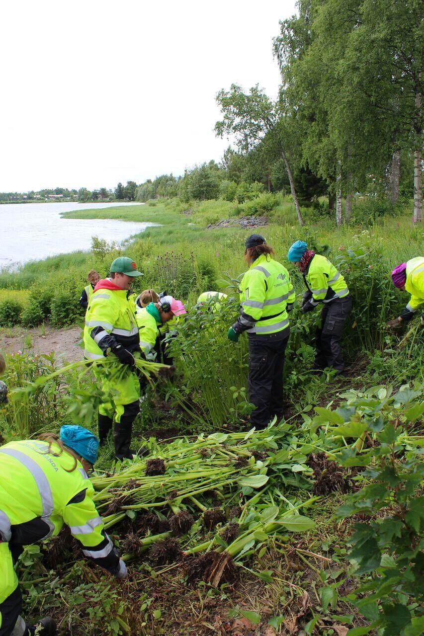 Tornion kaupungin työntekijöitä jättipalsamia kitkemässä.
