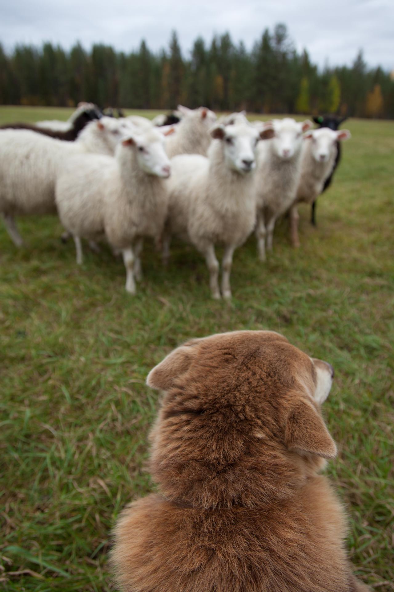 Monialaisuus mahdollistaa elämän maalla. Porokoira Majurikaan ei laske yhden kortin varaan, vaan koittaa ottaa haltuun myös lammaspuolen.