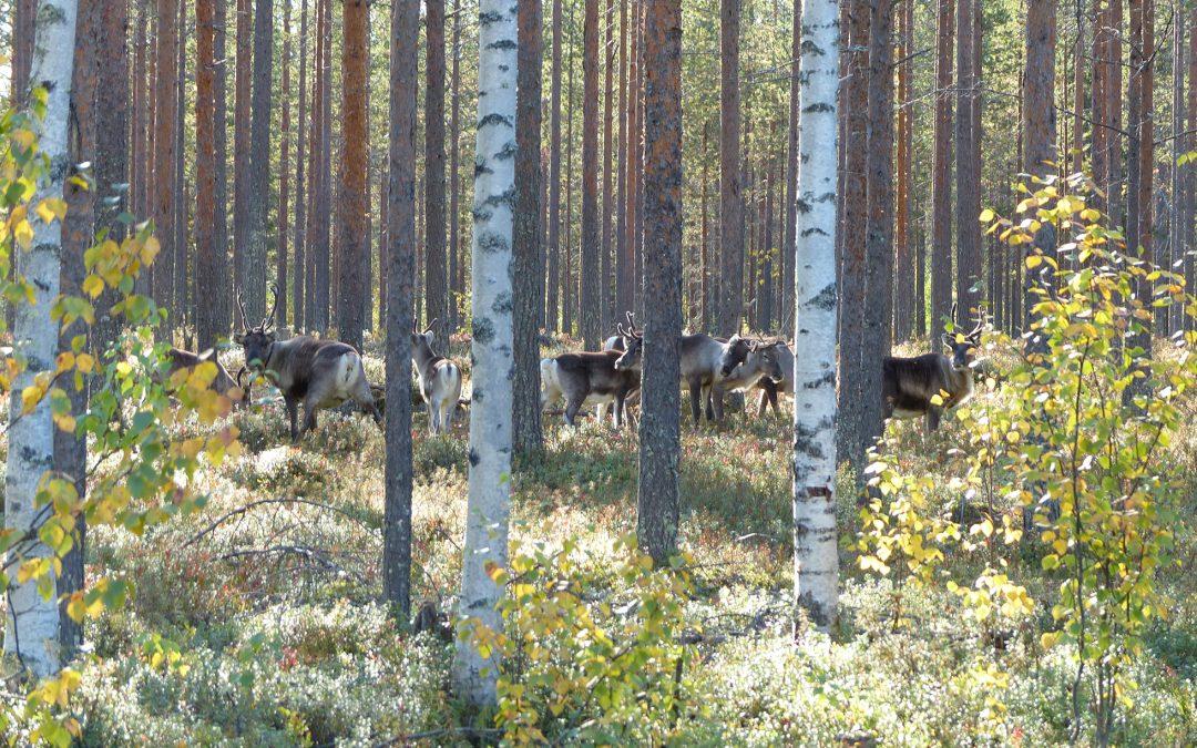 Metsänkasvatusmenetelmät poron silmin tarkasteltuina
