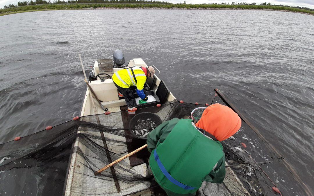 Lapista kaupallisen kalastuksen mallia maailmalle