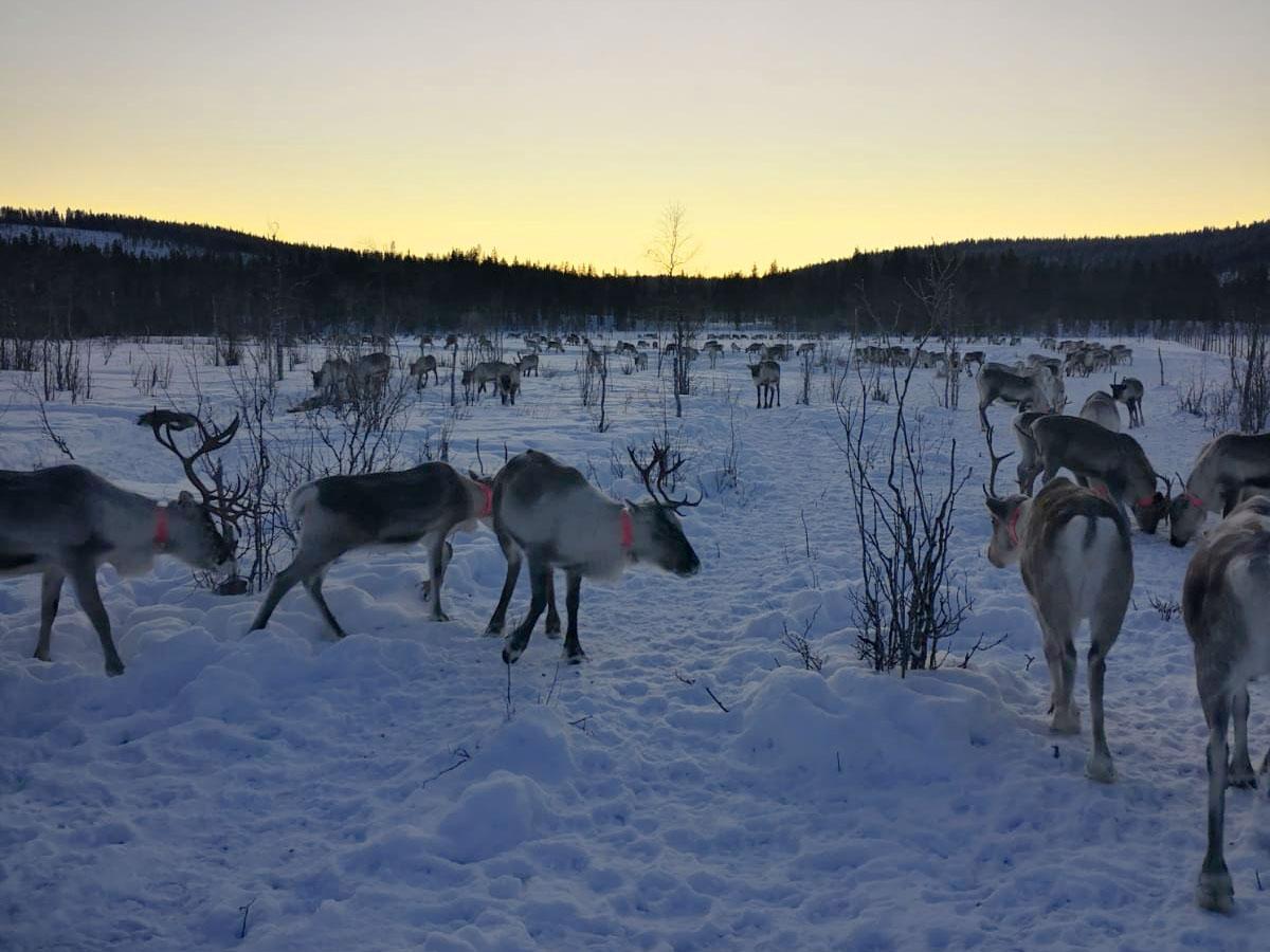 Poroja talvisella aavalla auringonlaskun aikaan.