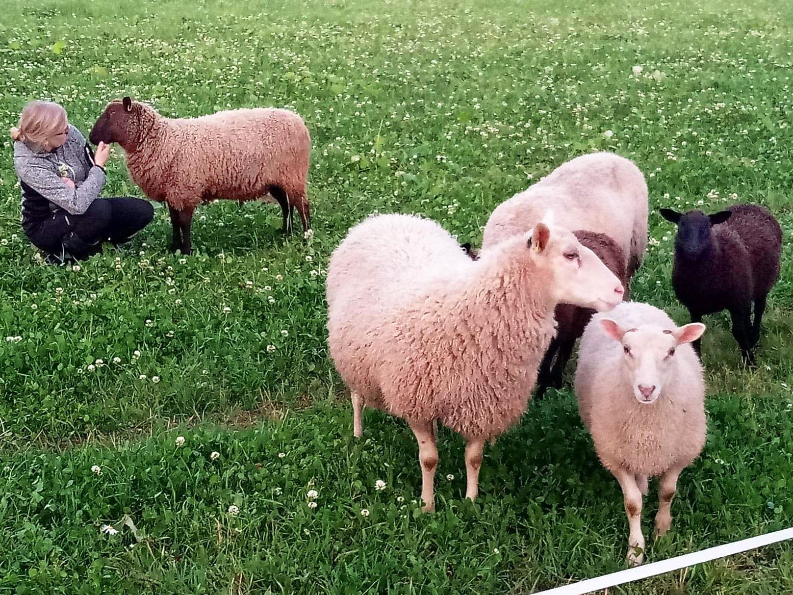 Lampaita pellolla. Ihminen rapsuttaa lammasta taustalla.